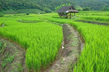 Green Terraced Rice Field in Chiangmai, Thailand
