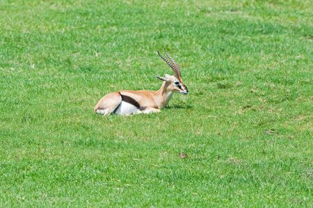Gazelle on the grass photo