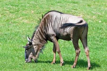 rift: Wildebeest eating grass