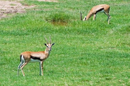 Gazelle eating grass photo