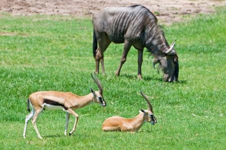 Gazelle and Wildebeest in background