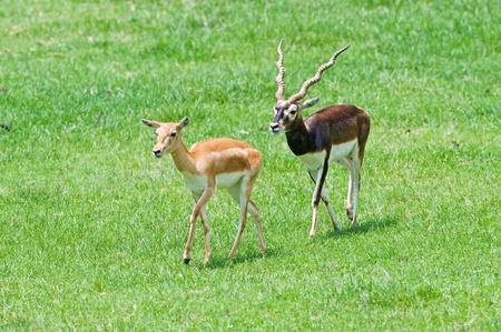 Male and female blackbuck on grass