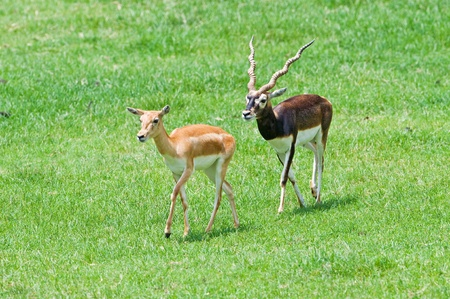 Male and female blackbuck on grass