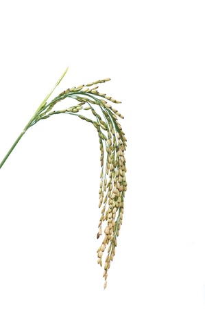 Ear of rice isolated on white background