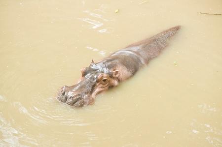 Hippopotamus in water Stock Photo