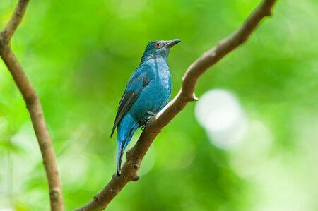 Asian Fairy Bluebird  female