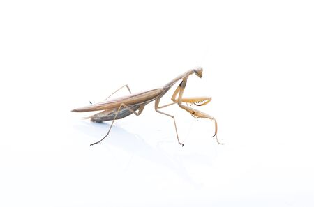 Mantis isolated on white background photo