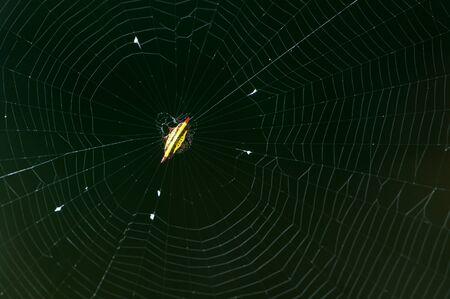 arachnoid: Piccolo giallo ragno nella sua ragnatela