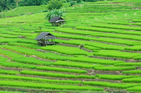 Green Terraced Rice Field in Chiangmai, Thailand  photo