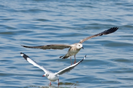 larus: Heuglin s Gull  Larus heuglini