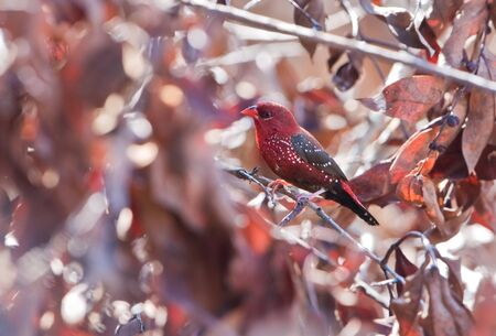Red avadavat  male Stock Photo - 17108248