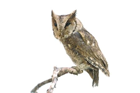 Collared scops owl isolated on white background Stock Photo
