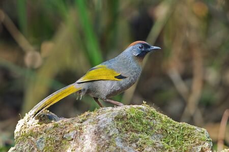 Chestnut-crowned Laughingthrush photo