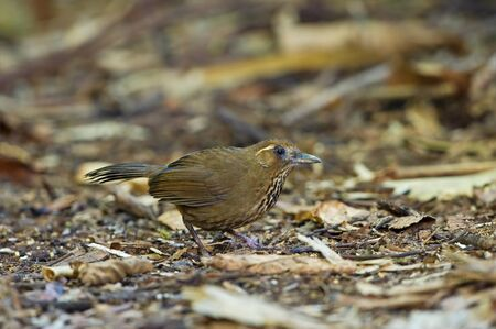 laughingthrush: Spot-breasted Laughingthrush
