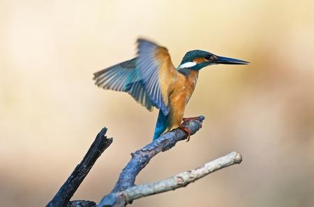 Common Kingfisher Stock Photo - 17376340