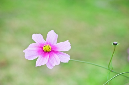 Close up of Flower  Cosmos
