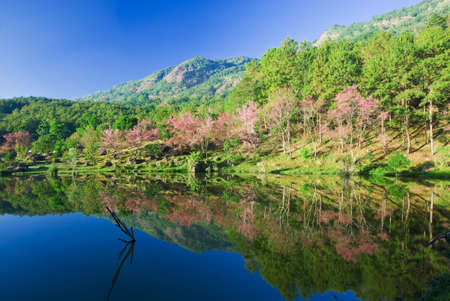 Sakura pink flower on mountain with lake in thailand, cherry blossom