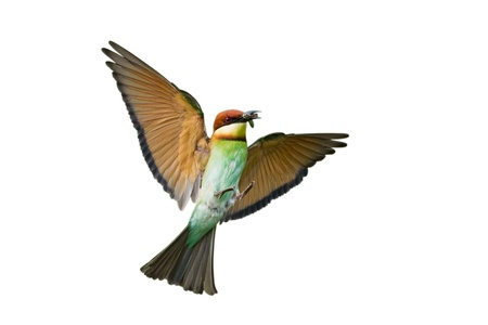 Chestnut-headed Bee-eater isolated on white background  Stock Photo