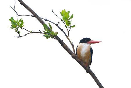 Black-capped Kingfisher isolated on white background