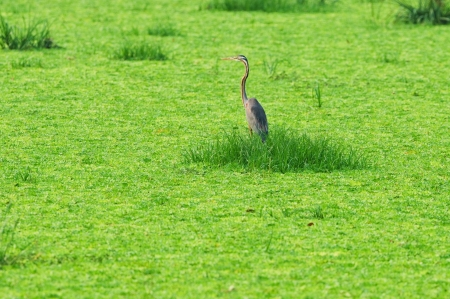 Purple Heron in lake Stock Photo - 18047298