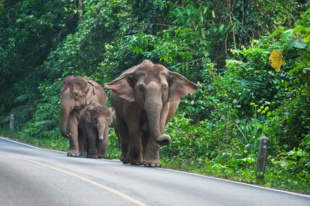 Group of wild elephant in Khaoyai national park of Thailand Stock Photo - 18047340