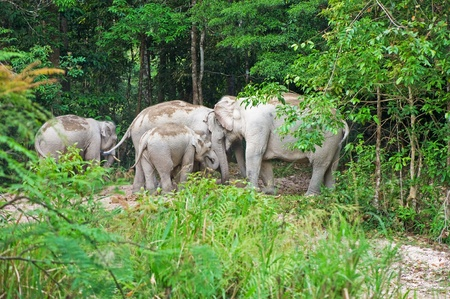 Group of wild elephant in Thailand Stock Photo - 18047362