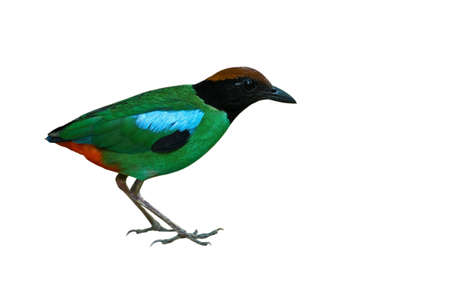 Hooded Pitta isolated on white background Stock Photo - 18047313