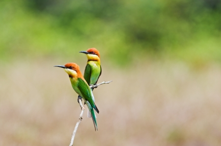 Couple of Chestnut-headed Bee-eater Stock Photo - 18128477