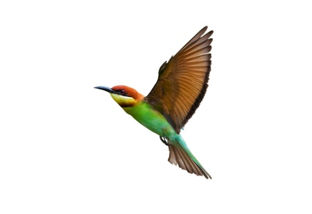 Chestnut-headed Bee-eater isolated on white background Stock Photo - 18128474