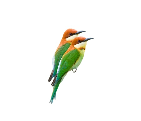 Couple of Chestnut-headed Bee-eater isolated on white background Stock Photo - 18128475