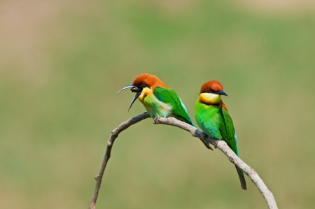 Couple of Chestnut-headed Bee-eater Stock Photo - 18128473