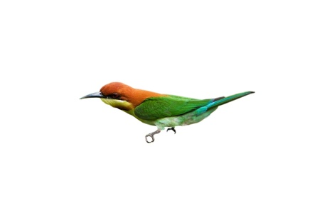 Chestnut-headed Bee-eater isolated on white background Stock Photo - 18128480