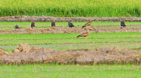 Group of Black kite in field Stock Photo - 18208613