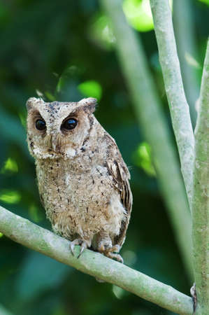 Collared scops owl Stock Photo - 18208616