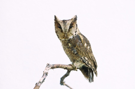 Collared scops owl isolated on white background Stock Photo - 18208610