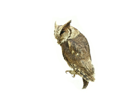 Collared scops owl isolated on white background Stock Photo - 18208606