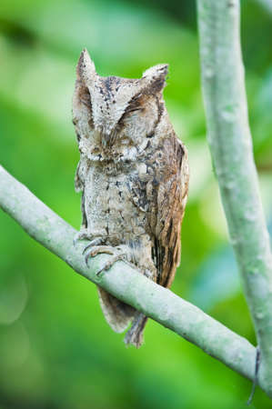 Collared scops owl Stock Photo - 18208611