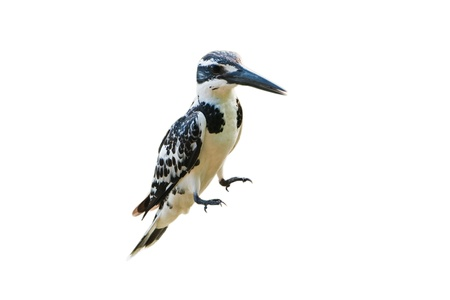 Pied Kingfisher isolated on white background Stock Photo - 18420821