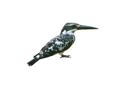 Pied Kingfisher isolated on white background Stock Photo - 18420829