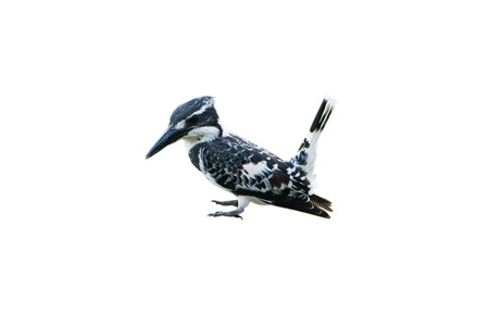 Pied Kingfisher isolated on white background Stock Photo - 18420837