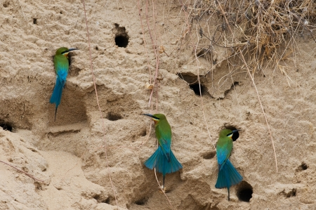 Group of Blue-tailed Bee-eater  Stock Photo