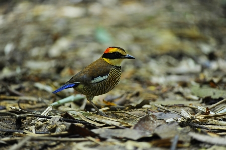 Banded Pitta female   Stock Photo - 18420852