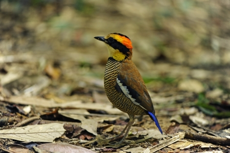 Banded Pitta female   Stock Photo - 18420858