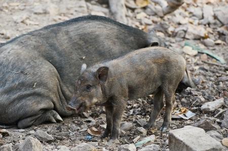 Wild pig Stock Photo - 18424394