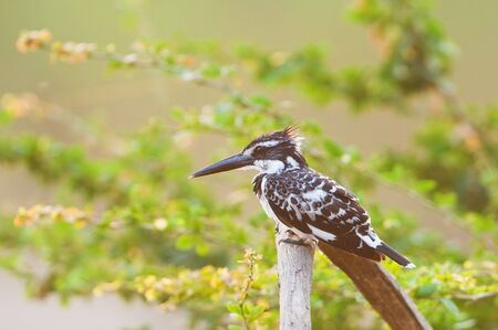 Pied Kingfisher with morning light