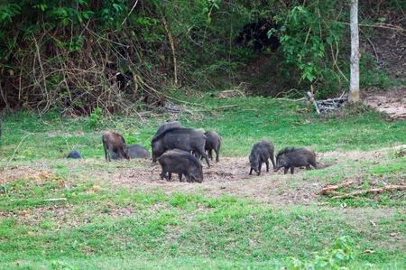 Group of wild pig eating salt licks in rainforest of Thailand