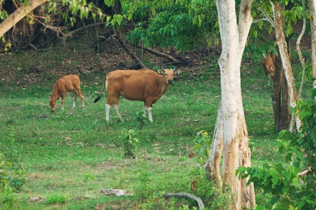 Family of Banteng, red bull in rainforest of Thailand