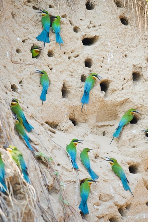 Group of Blue-tailed Bee-eater photo
