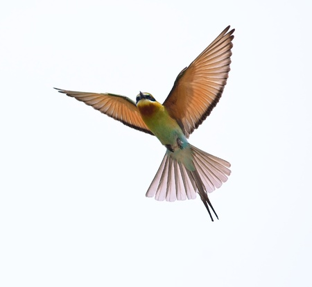 Azul-cauda-Bee-eater isolado no fundo branco
