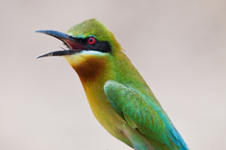 Close up of Blue-tailed Bee-eater
